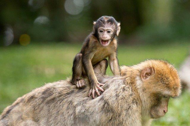 berberské opice