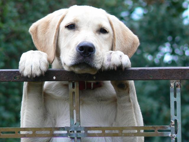 krásný labrador