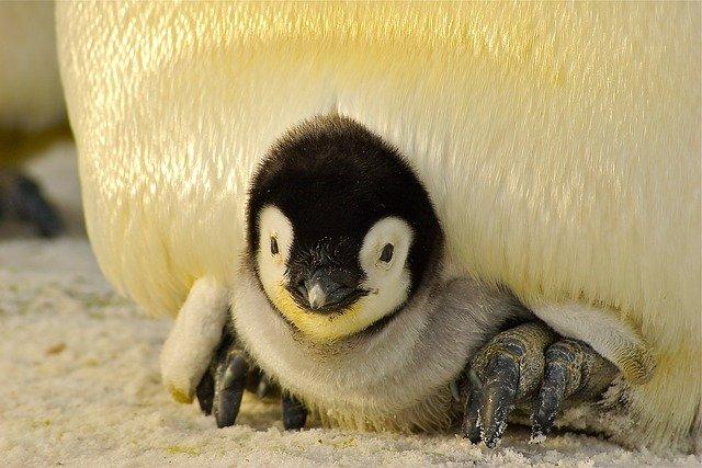 ležící tučňák