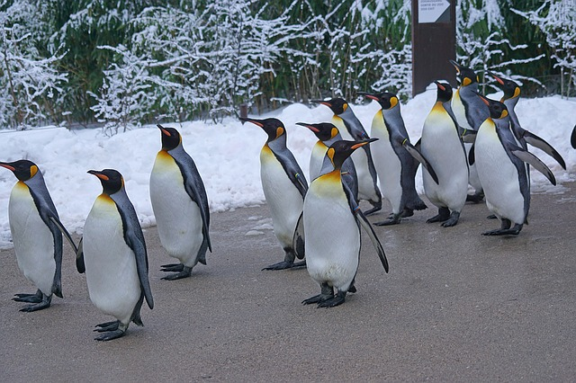 tučňáci na procházce