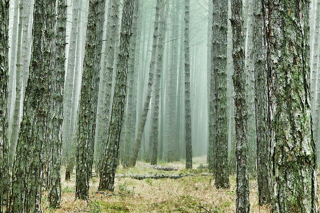 mlha v borovicovem lese